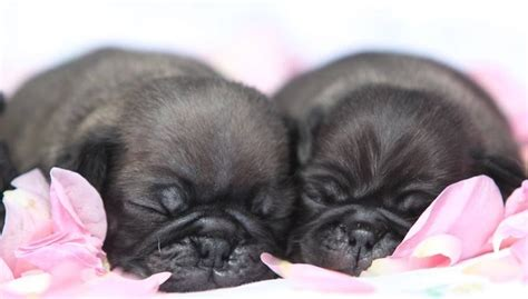 chocolate pug puppies 1000 images about pug wallpaper screensaver on a pug puppys and brindle pug
