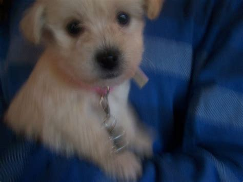 anti allergy dogs poodle x puppies anti allergy 1 left slough berkshire pets4homes