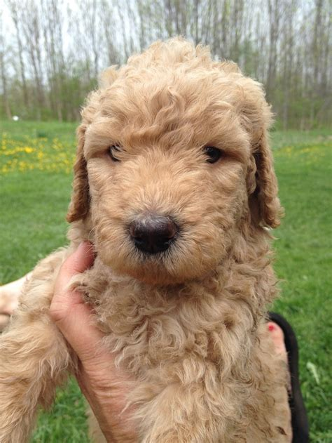 goldendoodle puppy nyc willowgreen golden doodles of new york puppies for sale