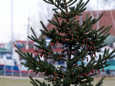 discarded christmas trees to be used for biofuel in