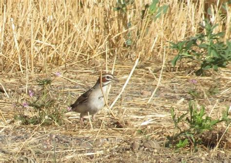 lark sparrow boulder colorado 169 juanita dufour photo