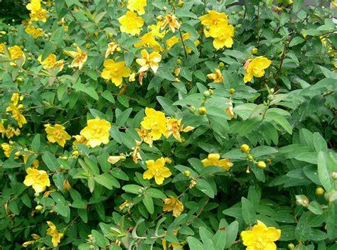 ipericum fiore tisana di iperico erba di san confezione