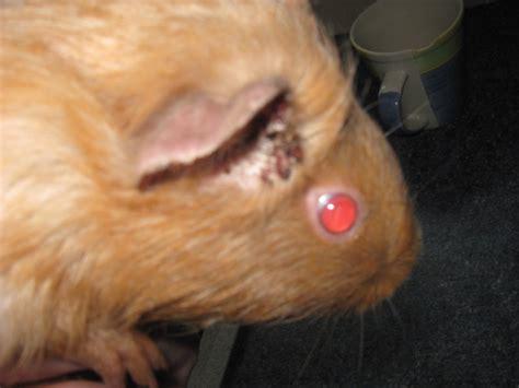 the guinea pig april 2010