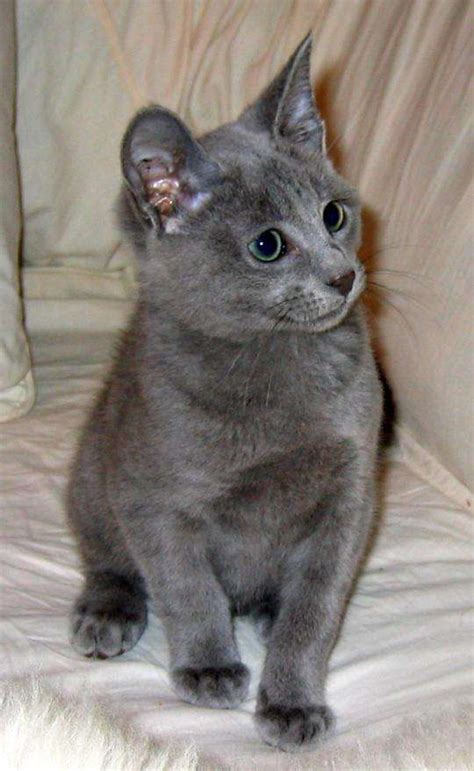Do Russian Blue Cats Shed by Nebelung Info Personality Pictures Kittens