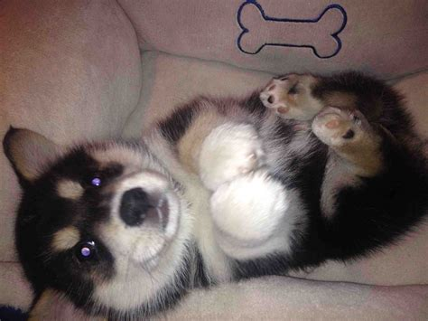 corgi husky puppies for sale corgi husky mix information characteristics and pictures