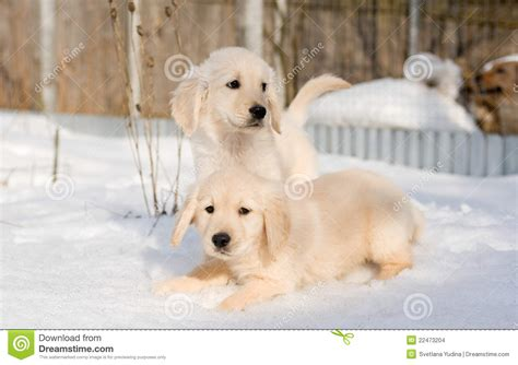golden retriever puppies in snow two golden retriever puppies in snow stock photo image of purebred coloured 22473204