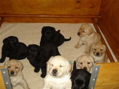 puppies for sale in new mexico aristes labrador retriever puppies for sale