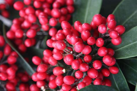 buy skimmia berry bearing skimmia japonica subsp reevesiana delivery by crocus