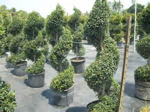 good Spiral Evergreen Tree #1: 100_1132.jpg
