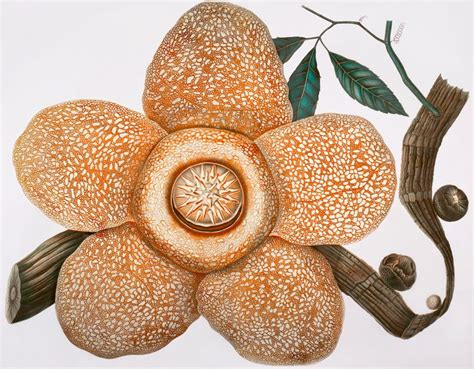 Orange And Yellow Rafflesia by 1000 Images About All Prints On Nature