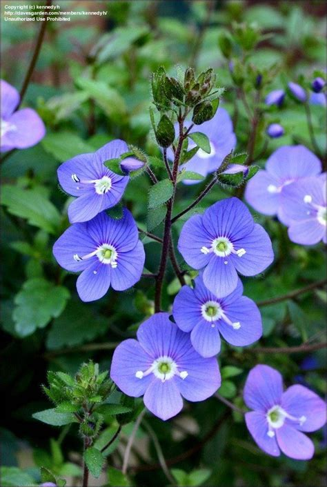 Ga Blue Plantfiles Pictures Blue Speedwell Creeping
