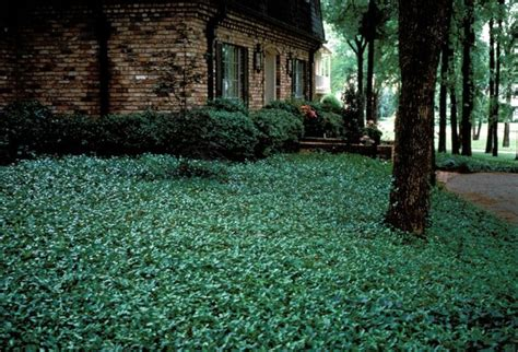 backyard ground cover 1000 images about lawns on pinterest jasmine the