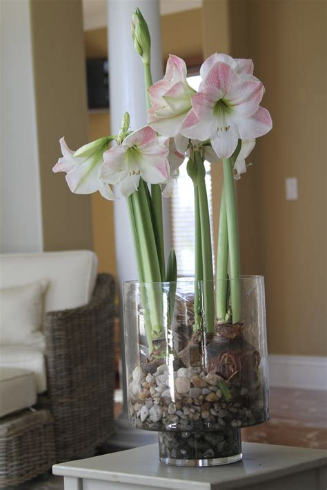 Growing Bulbs In A Vase by Forcing Bulbs How To Grow Flowers In Water This Winter