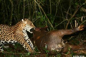 What Does Jaguar Eat Jaguar S Tapir Feast Offers Glimpse At The Lives Of