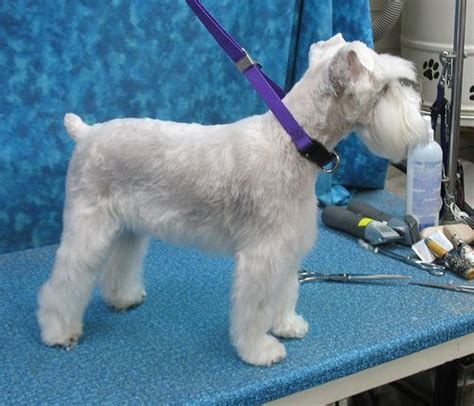 schnauzers hair cuts schnauzer haircuts pictures newhairstylesformen2014 com