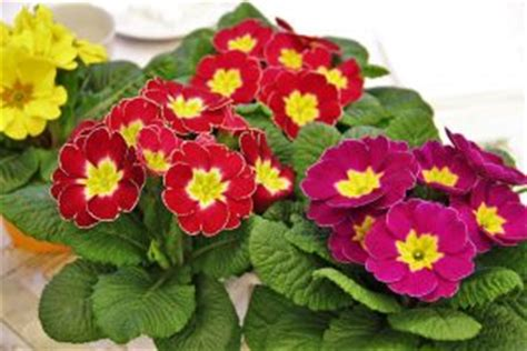 fiori primaverili da balcone 10 fiori da balcone primaverili come scegliere quelli giusti