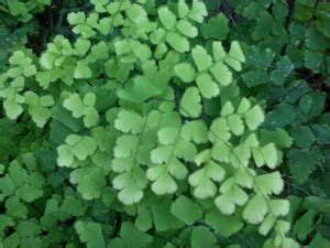 kingdom plantaedunia tumbuhan biohasanah smaga