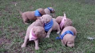 puppies for sale in winston salem nc view ad labradoodle puppy for sale carolina winston salem usa