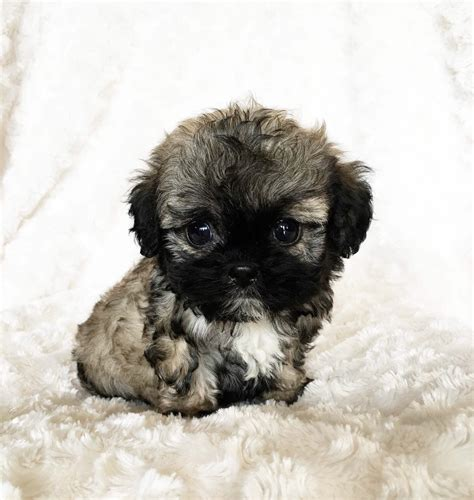 teacup teddy puppies maltipoo teddy puppy for sale teacup teddy maltipoo puppies for sale in la