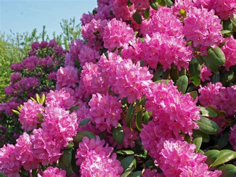 best flowering shrubs for partial sun rododendrai â sodå aristokratai delfi gyvenimas