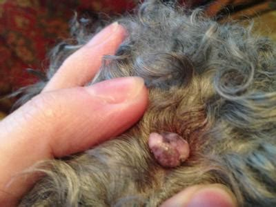 how does a bleed after puppies wart knocked wartpeel wart treatment info