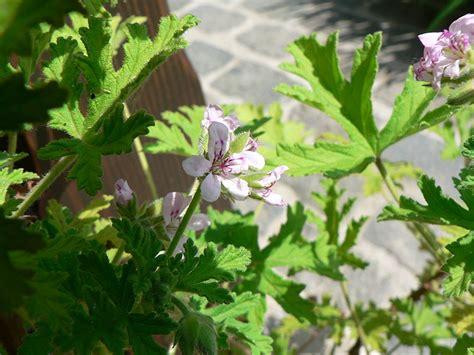 Pupuk Untuk Bunga Marigold 11 jenis tanaman pengusir nyamuk bapluh kp ogan ilir