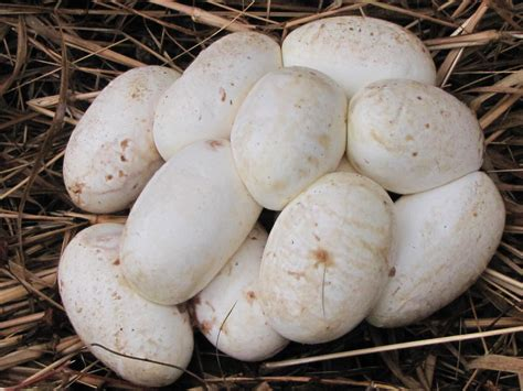 Garden Snake Laying Eggs How To Identify Snake Eggs Properly Onehowto