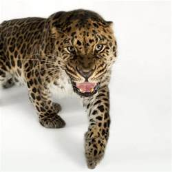 Where Does The Word Jaguar Come From The Meaning And Symbolism Of The Word 171 Leopard 187