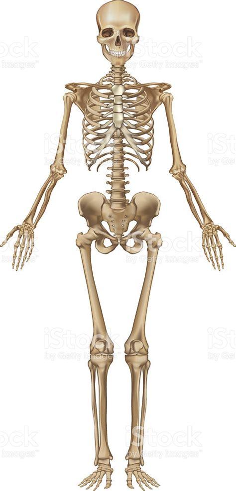 pelvis esqueleto humano frente cibertareas esqueleto humano vista de frente arte vectorial de stock