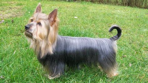 silky yorkie terrier breeds silky terrier breed standards