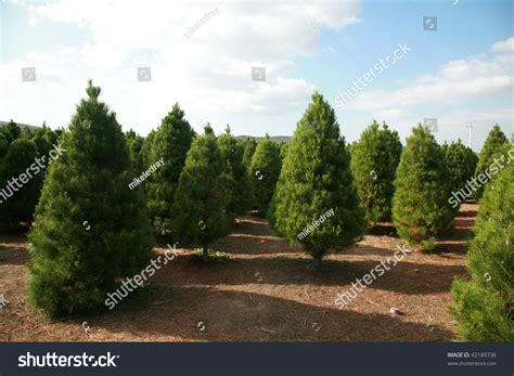 a christmas tree farm in southern california stock photo