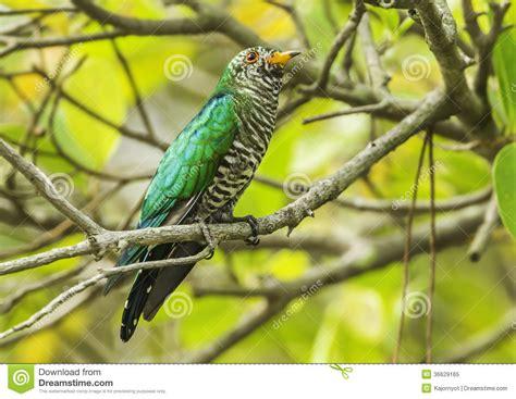 male asian emerald cuckoo stock image image of garden
