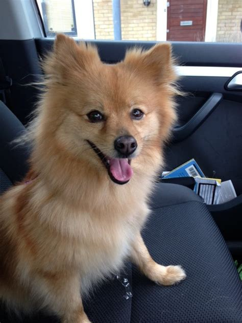 staffy x pomeranian ruby 3 year pomeranian cross for adoption