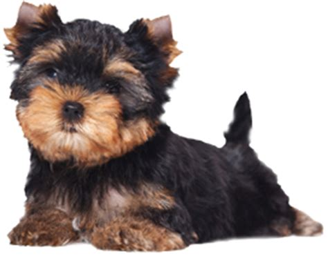 yorkie club of america breeders breeders map list the terrier club of america