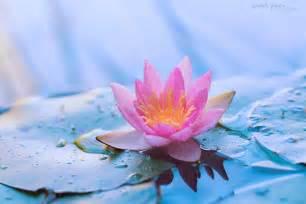 Lotus Screensaver Lotus Wallpaper