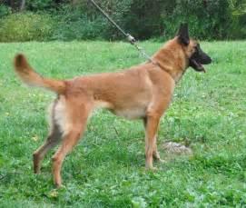 Belgian malinois german shepherd