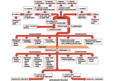 blood flow diagram blood circulation flow chart blood flow diagram anatomy