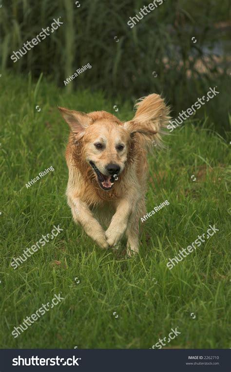 high meadow golden retrievers golden retriever running in meadow to catch river duck stock photo 2262710