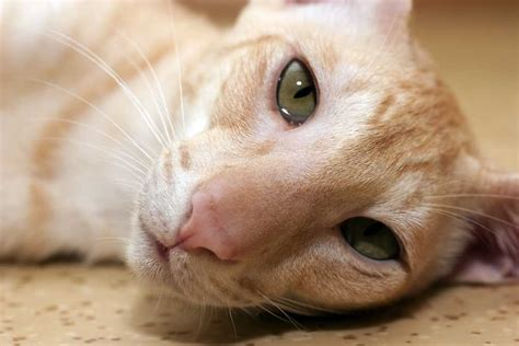 Non Shedding Cat Breeds by Hypoallergenic Cat Breeds Cat Breeds Encyclopedia
