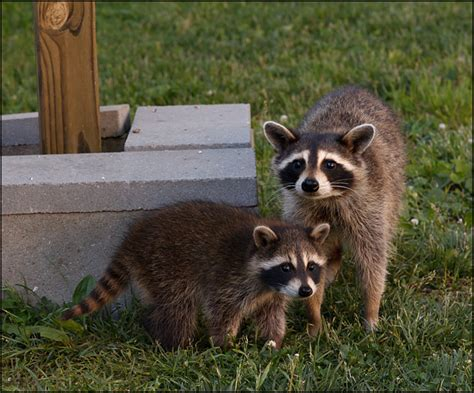 raccoon backyard a mother raccoon and one of her babies in my parents