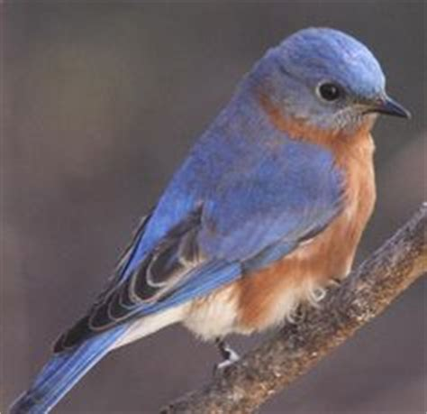 Attract Bluebirds Your Backyard by 1000 Images About Birdies On Purple Martin