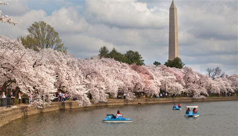 cherry blossom festival dc intravelreport washington dc celebrates spring s arrival with citywide festivals