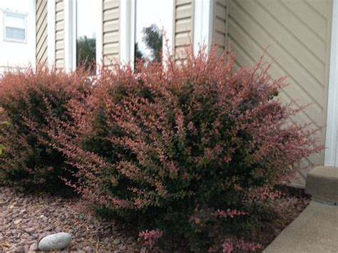 bushes for front of house barberry bushes in front of house landscaping ideas