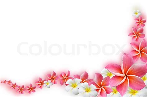design pic frangipani flowers border design stock photo colourbox