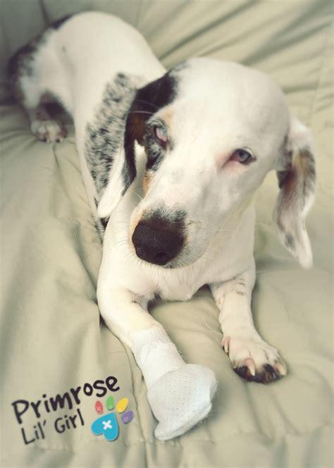 paw bandage pawflex meditts paw bandage easy on easy and stay on