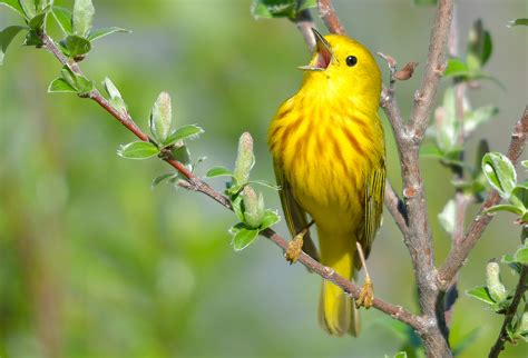 different types of birds that sing bird song