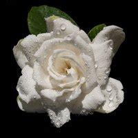 colors  gardenias ehow