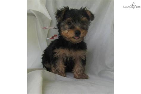 yorkies personality personality of terrier breeds picture