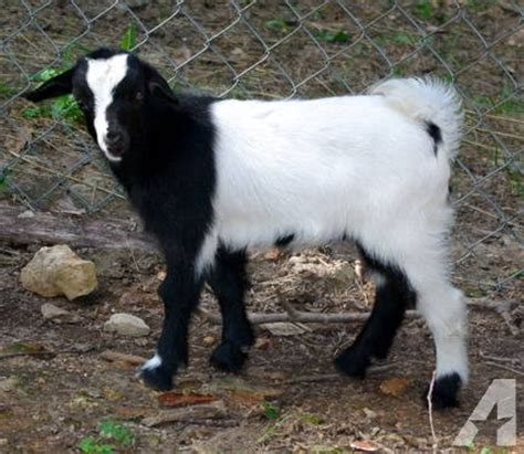 Fainting For Sale by Fainting Goats For Sale In Ashland City Tennessee