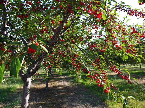 cherry tree u happiness does grow on trees celebrating cherry season in the of cherry country